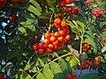 Pihlaja ( Sorbus ) - panoramio.jpg