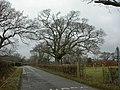 Pilley, oak tree - geograph.org.uk - 1708066.jpg