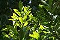 Pimenta racemosa 21zz.jpg