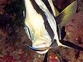 Pinnate Batfish (Platax pinnatus) (46722837661).jpg