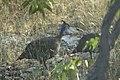 Pintade de Numidie - Numida meleagris.jpg