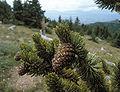 Pinus aristata cones.jpg