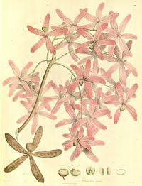Plantae Asiaticae Rariores - plate 012 - Melanorrhoea usitata.jpg