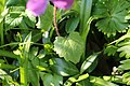 Plantae sp. (26095114383).jpg