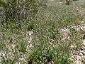 Plantago ovata mass.jpg