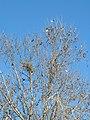 Platanus orientalis with Corvus cornix nest 05.jpg