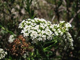 <i>Platysace lanceolata</i> species of plant