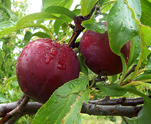 Plums with some glaucous coating visible