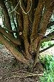 Podocarpus totara in Auckland Botanic Gardens 01.jpg