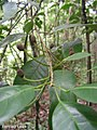 Pogonophora schomburgkiana, cocão - Flickr - Tarciso Leão (1).jpg