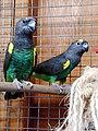 Poicephalus meyeri -two captive-6a.jpg