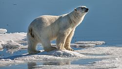 Polar bear near Sjuøyane with a typical gesture assessing the situation.jpg