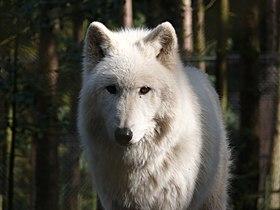 Polarwolf - Canis lupus arctos.jpg