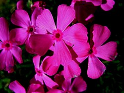 Polemoniaceae (jacob's ladder family or phlox family) - 1.JPG