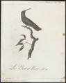 Polytmus holosericeus - 1802 - Print - Iconographia Zoologica - Special Collections University of Amsterdam - UBA01 IZ19100141.tif