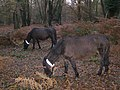 Ponies grazing in Matley Wood, New Forest - geograph.org.uk - 285803.jpg