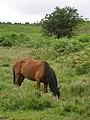 Pony grazing between Alderhill Inclosure and Hampton Ridge, New Forest - geograph.org.uk - 477328.jpg