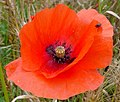 Poppy and Beetle - geograph.org.uk - 881474.jpg