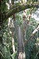 Poring Hot Spring Canopy Walk 0013.jpg