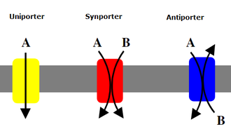 Active transport - Function of symports and antiports.