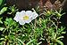 Portulaca grandiflora, Burdwan, 30032014 (4).jpg