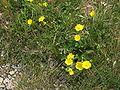 Potentilla grandiflora002.jpg