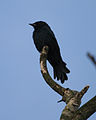 Powai black drongo2 - Flickr - Lip Kee.jpg