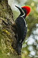 Powerful Woodpecker - Ecuador S4E2767.jpg