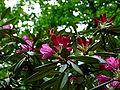 Průhonice, zámecký park, kvetoucí červený rododendron.jpg