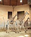 Prague Zoo - giraffas.jpg