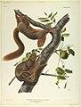 Print, Orange-Bellied Squirrel,, ca. 1845 (CH 18466405).jpg