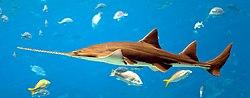 Pristis pristis - Georgia Aquarium Jan 2006.jpg