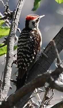 Prob arizona woodpecker Albuquerque, NM.JPG