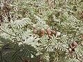 Prosopis farcta, fruits.JPG