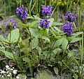 Prunella grandiflora (L.) Scholl. (9371156406).jpg