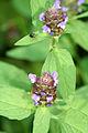 Prunella vulgaris SCA-6647-48.jpg