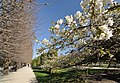 Prunus Sato-Zakura 'Shirotae' in the Jardin des Plantes, Paris 013.jpg