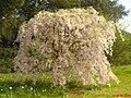 Prunus avium - UK 13.jpg