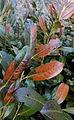 Prunus laur chlad.JPG