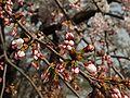 Prunus serrulata 2005 spring 002.jpg