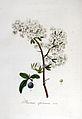 Prunus spinosa — Flora Batava — Volume v6.jpg