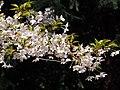 Prunus subhirtella Wiśnia różowa 2017-04-09 03.jpg