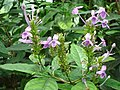 Pseuderanthemum graciflorum.JPG