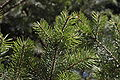 Pseudotsuga menziesii branch underside 2.JPG