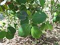 Pterocarpus santalinus 04.JPG