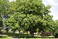 Pterocarya fraxinifolia JPG3d.jpg