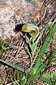 Pterostylis hamiltonii - Red-veined shell orchid (7661369104).jpg