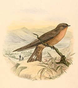 A square-tailed brown swallow