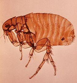 Puce du rat (Xenopsilla cheopsis) adulte