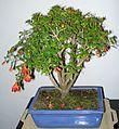 Punica granatum bonsai 17 01 2012.jpg
